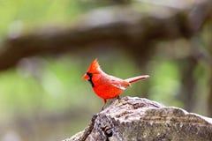 Mâle cardinal nordique images libres de droits