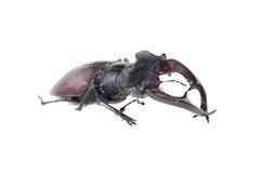 Mâle-coléoptère Photographie stock