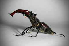 Mâle-coléoptère Photos stock