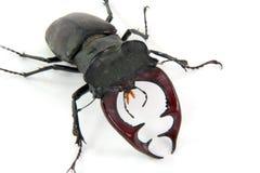 Mâle-coléoptère mâle Photographie stock libre de droits
