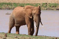 Mâle d'éléphant africain Images libres de droits
