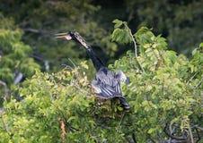 Mâle d'Anhinga dans une cime d'arbre Image libre de droits