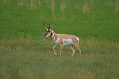 Mâle d'antilope de Pronghorn Image stock