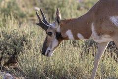 Mâle d'antilope de Pronghorn photographie stock libre de droits