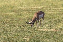 Mâle d'antilope de Pronghorn photo stock
