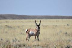 Mâle d'antilope de pronghorn du Wyoming photos stock