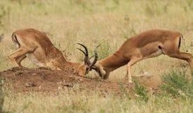 Mâle d'impala d'antilope Photo stock