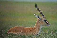 Mâle d'impala de profil de l'Afrique, Tanzanie Photographie stock libre de droits