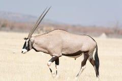 Mâle d'oryx sur le chemin au point d'eau Images libres de droits