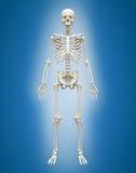 mâle 3D squelettique humain sur le fond bleu Photo libre de droits