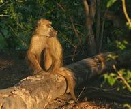 Mâle de babouin de Chacma Photos stock