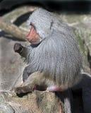 Mâle de babouin de Hamadryas Photos libres de droits