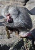 Mâle de babouin de Hamadryas Photographie stock libre de droits