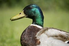 Mâle de canard Photos stock