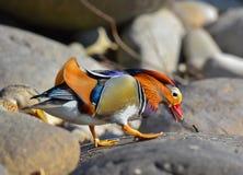 Mâle de canard de mandarine sur des roches Photographie stock libre de droits