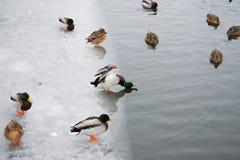 Mâle de canard en position étrange photos stock