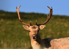 Mâle/mâle de cerfs communs affrichés images libres de droits