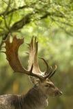 Mâle de cerfs communs affrichés Image stock