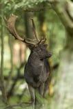 Mâle de cerfs communs affrichés Photos libres de droits
