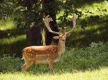 Mâle de cerfs communs affrichés Photos stock
