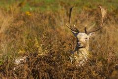 Mâle de cerfs communs affrichés Photographie stock libre de droits