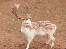 Mâle de cerfs communs affrichés au parc Image stock