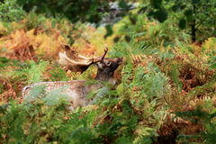 Mâle de cerfs communs affrichés dans la saison d'automne photos stock