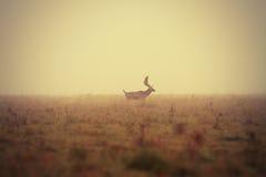 Mâle de cerfs communs affrichés dans le matin brumeux Photographie stock libre de droits