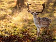 Mâle de cerfs communs affrichés dans le matin Sun Images libres de droits