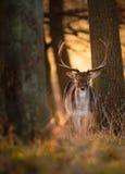 Mâle de cerfs communs affrichés en bois Images libres de droits
