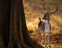 Mâle de cerfs communs affrichés en bois Image libre de droits