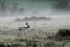 Mâle de cerfs communs affrichés en brouillard d'automne photographie stock