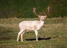 Mâle de cerfs communs affrichés - le dama de Dama blanc morph n un espace vert ensoleillé image libre de droits