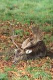 Mâle de cerfs communs affrichés se couchant prêt à dormir image libre de droits