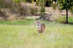 Mâle de cerfs communs coupé la queue par blanc de Texas Hill Country Eight Point Image stock