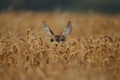 Mâle de cerfs communs d'oeufs de poisson sur la prairie verte magique image libre de droits