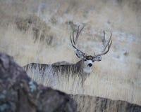 Mâle de cerfs communs de mule Photographie stock libre de droits