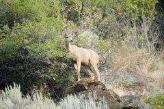 Mâle de cerfs communs de mule Photos stock