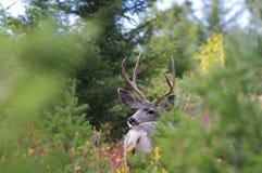 Mâle de cerfs communs de mule photo libre de droits