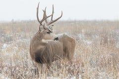 Mâle de cerfs communs de mule dans la tempête de neige Photographie stock libre de droits