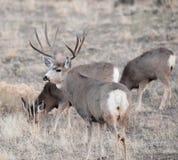 Mâle de cerfs communs de mule pendant l'ornière Photos stock