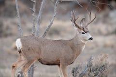 Mâle de cerfs communs de mule pendant l'ornière Image libre de droits