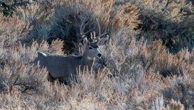 Mâle de cerfs communs de mule regardant vers la droite Photo libre de droits