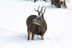 Mâle de cerfs communs de mule sur l'alerte ! Images stock