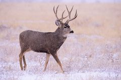 Mâle de cerfs communs de mule dans la neige Cerfs communs sauvages sur les hautes plaines de Colo photos stock