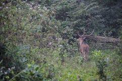 Mâle de cerfs communs repéré par mâle dans une forêt Photographie stock libre de droits