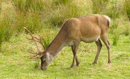 Mâle de cerfs communs rouges Photographie stock libre de droits