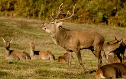 Mâle de cerfs communs rouges avec des hinds Image libre de droits