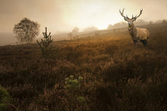Mâle de cerfs communs rouges dans l'horizontal brumeux d'automne d'automne image libre de droits