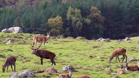 Mâle de cerfs communs rouges, elaphus de Cervus, se reposant, marche, postering pendant l'ornière d'automne, pierres de Cairngorm banque de vidéos